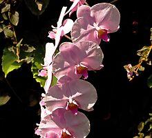 Orchids by Thad Zajdowicz