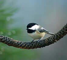 Green Tree Chickadee by Amber Graham (grahamedia)