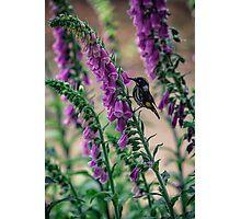 Honeyeater on Pink Photographic Print