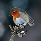 A Robin Red Breast by Jan Fialkowski