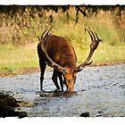 Deer Drink by spredwood