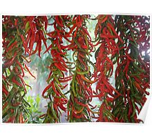 Strung and Hanging Red and Green Chili Peppers Drying Poster
