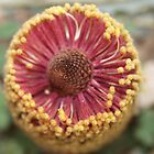 Banksia petiolaris Flower by kalaryder