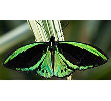 Common Green Birdwing Photographic Print