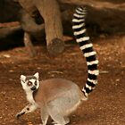 lemur by Pat Heddles