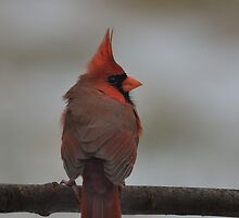 Northern Cardinal in the Wind by Mully410
