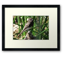 Black Phoebe Framed Print