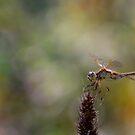 Dragonfly by Katie WIsniewski