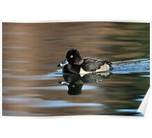 Ring Necked Duck On Silky Waters Poster