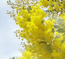 Wattle Flowers by STHogan
