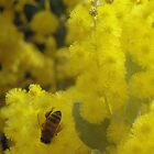 Wattle Bee by STHogan