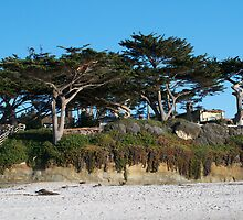 Kite-eating tree and white sand, Carmel by Shymala Dason