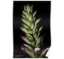 Acanthus in the evening Poster
