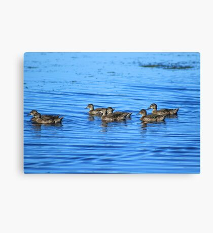 Swimming Ducks Canvas Print