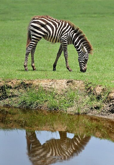 Zebra Reflection by Kathy Baccari