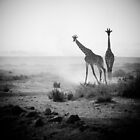 Giraffes in Amboseli national park, Kenya  by javarman