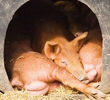 Piglets by Robert Down