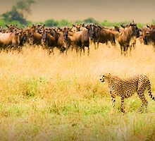 Cheetah hunting by javarman