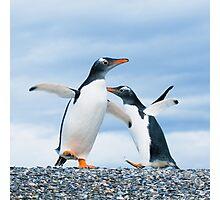 gentoo penguins Photographic Print