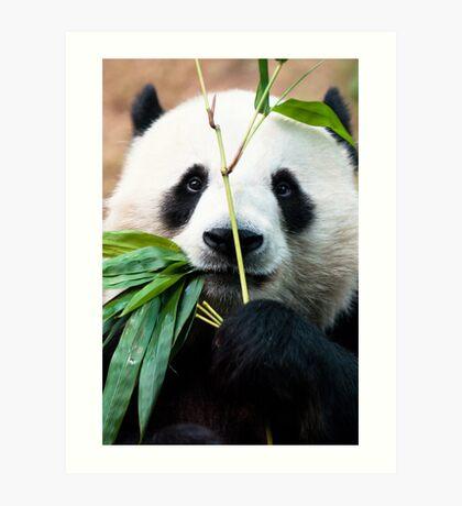 Panda eating bamboo Art Print