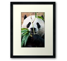 Panda eating bamboo Framed Print