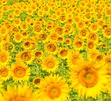 Sunflower field by javarman