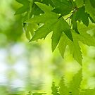 Green leaves reflecting in the water by javarman