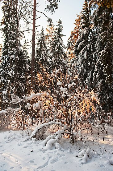 Forest in winter by fotorobs
