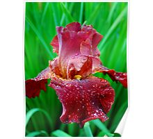 Dewy Red Iris Poster