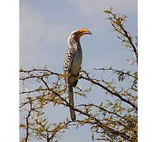 Southern Yellow Billed Hornbill Photographic Print