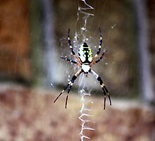 Garden Spider by CatKV
