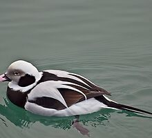 Long Tailed Duck in Winter Plumage by Gerda Grice