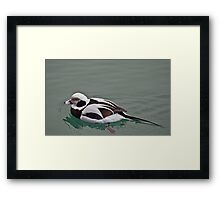 Long Tailed Duck in Winter Plumage Framed Print
