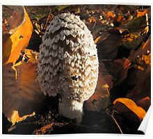 Shaggy Ink Cap or Lawyer's Wig Poster