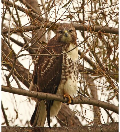 Red-Tailed Hawk as wise as Owl Sticker