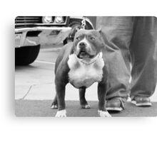 American Staffordshire Terrier Metal Print