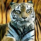 Portrait of a beautiful Tiger by TheBrit