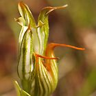 Pterostylis recurva - Jug Orchid by kalaryder