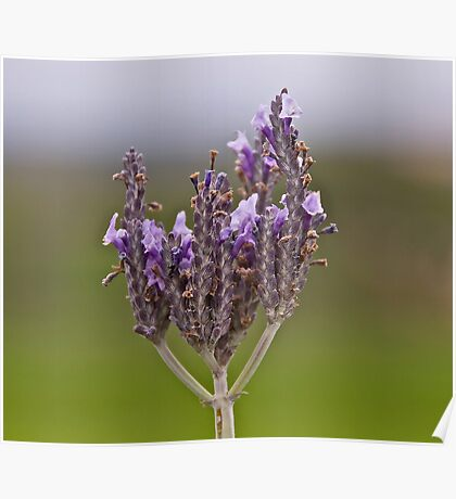 Crown of Lavender Poster
