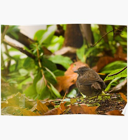 Song Sparrow in Autumn Leaves Poster