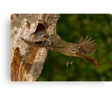 Great-crested Flycatcher Mid-air Food Exchange. Canvas Print