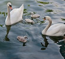 Swan Family by Gerda Grice