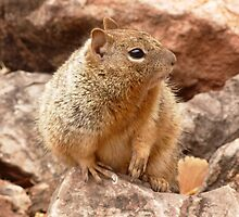 Gopher in the Grand Canyon, hiking by bethischeery