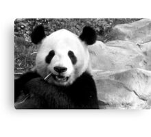 Panda bear chewing on a peice of bamboo, as if it were a toothpick (Black and White) Canvas Print