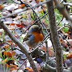 Red robin, autumn leaves in England by bethischeery