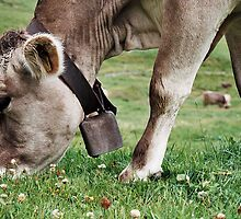 Free range jersey cow, with cow bell, the hills of Switzerland, eating the clover by bethischeery