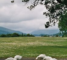 Free range geese, countryside in Scotland by bethischeery