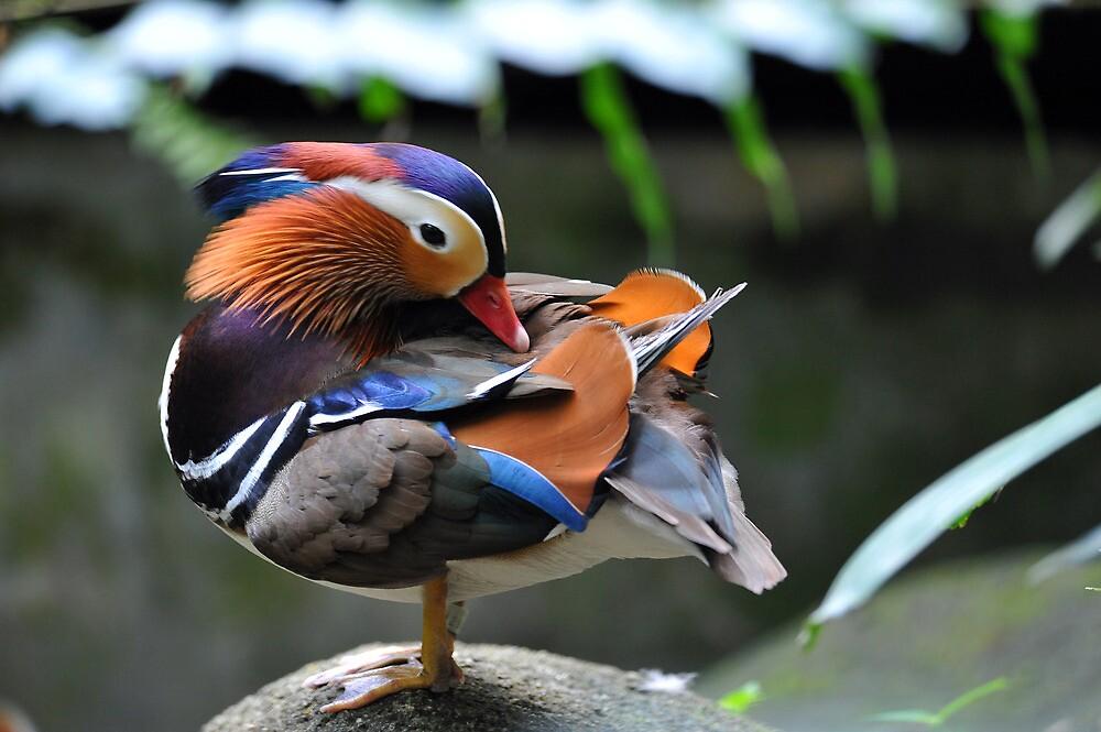 Mandarin Duck, Singapore. by Ralph de Zilva