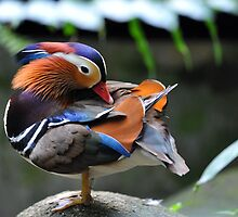 Mandarin Duck, Singapore. by Ralph de Zilva