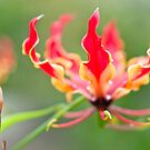 The Glory Lily (Gloriosa superba) by Tim Cowley